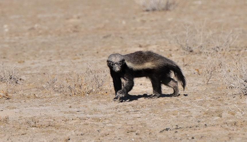 Medarski jazbec – simpatična baraba