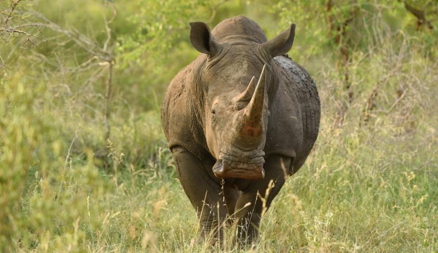 Afriški nosorog