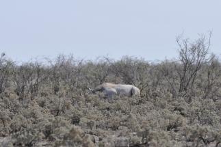 rhino_08