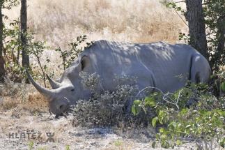 rhino_10
