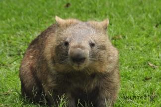 wombat 09