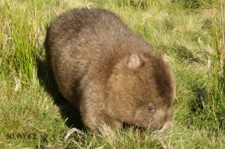 wombat 17