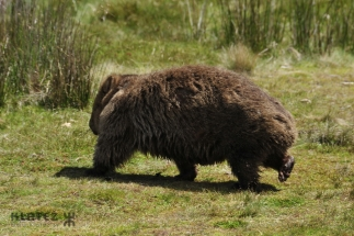 wombat 19
