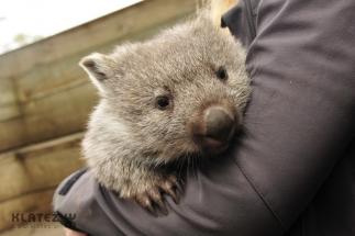 wombat 22