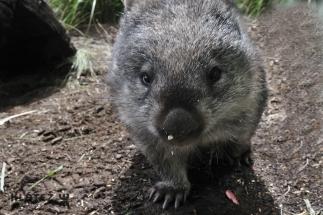 wombat 25
